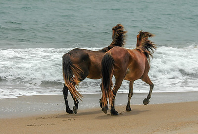 Wild Horses on Beach Looking to Sea