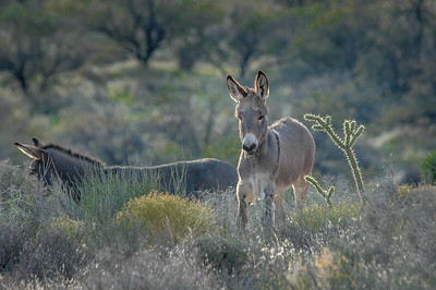 Wild Burros Red Rock Canyon State Park, Nevada #2