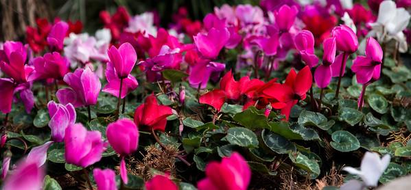 Pink carpet of flowers