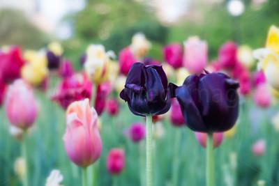 Two dark tulips