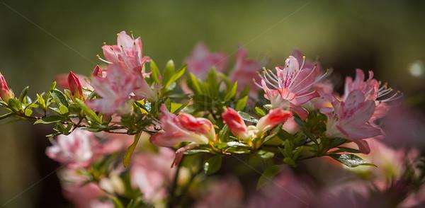 Horizontal pink