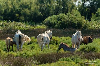 Horses in the Camargue, Bouches-du-Rhône