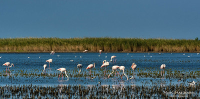 Flamingoes and stilts in the brine lagoons of the Camargue, Bouches-du-Rhône