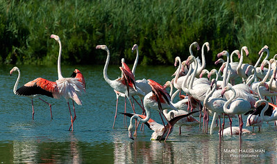 Flamingo ballet, Bouches-du-Rhône