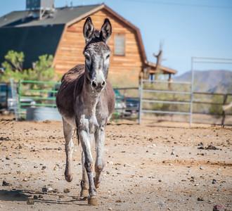 Mule Trot