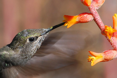 Hummingbird (Honorable Mention 2015 AZ Fish and Game Dept)