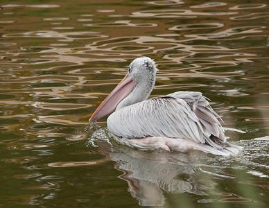 Pelican III