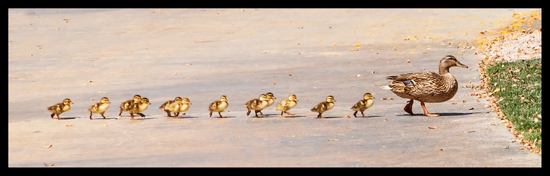 Duck Family II