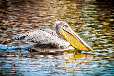 Pelican IV