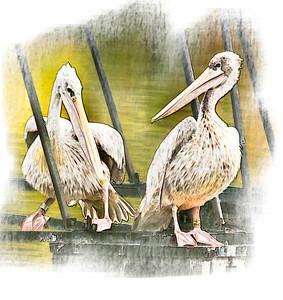 2 Pelican