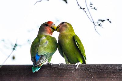 LoveBirds II