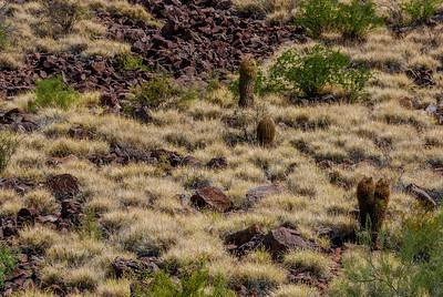 Buffelgrass and Small Cactus