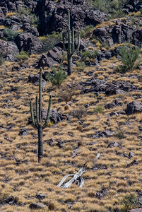 Huge Panther Peak Buffelgrass Patch #5