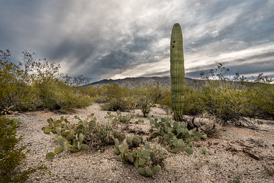 Saguaro, Prickly Pear, and Dramatic Sky
