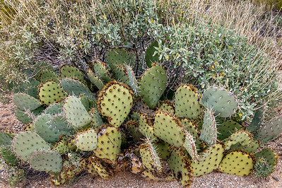 Prickly Pear and  Brittlebush