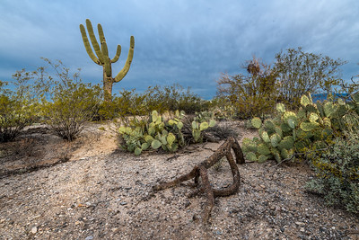 Cholla Skeleton and Unusual Saguaro
