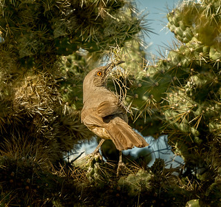 BR -  Curve-billed Thrasher with Material for Nest in Cholla Cactus