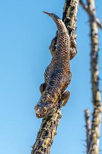 BR - Desert Spiny Lizard on Ocotillo #2