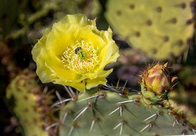 BR - Bee in Prickly Pear Cactus Flower #1