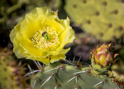 BR - Bee in Prickly Pear Cactus Flower #2