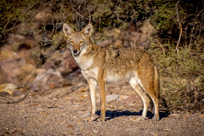 EH - Coyote