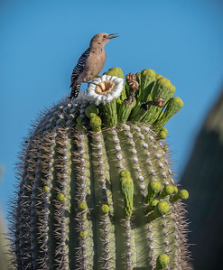 EH - Gila Woodpecker on Saguaro  Cactus Flower
