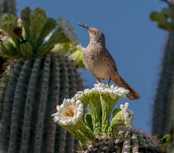 EH - Curve-billed Thrasher on Saguaro Cactus Flower #2