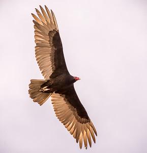 EH - Turkey Vulture