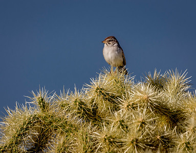 EH - Rufous-winged Sparrow