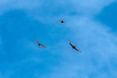 EH - Turkey Vultures