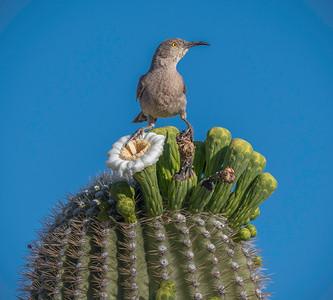EH - Curve-billed Thrasher on Saguaro Cactus Flower #1