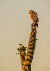 EH - Red-tailed Hawk Watching Male House Sparrow