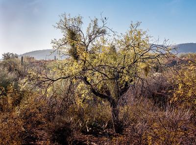 Phainopepla on Mesquite Tree