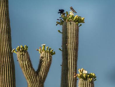 Martin Pair on Saguaro Cactus #2