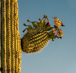 RWG - I-11 Cactus Wrens and Saguaro Fruit
