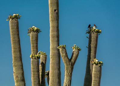 Martin Pair on Saguaro Cactus #1