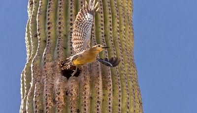 Gila Woodpecker Flies from Nest Hole #5