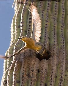 Gila Woodpecker Flies from Nest Hole #6