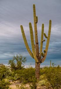 Big  Saguaro North of Sinagua Road #5