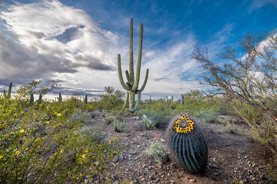 I-11 - Saguaro and Barrel With Yellow Fruit #4