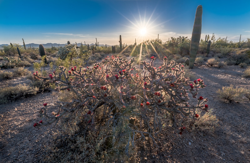 I-11 - Cholla With Red Flowers #1