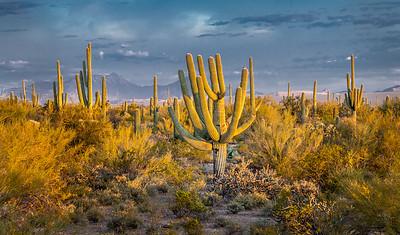 I-11 - Unusual Saguaro South of Sinagua Road  #1