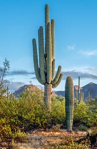 Big  Saguaro North of Sinagua Road #1
