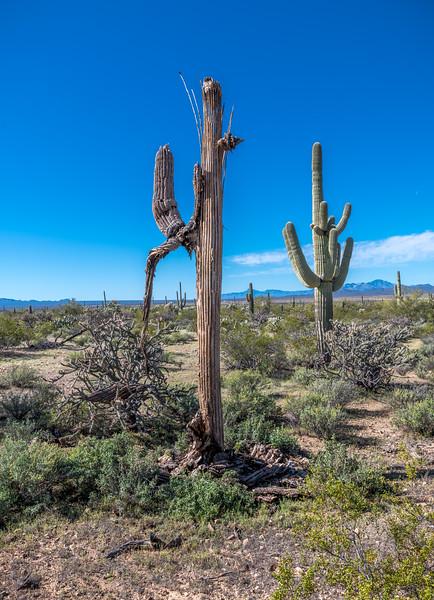 I-11 - Old Growth Desert #2