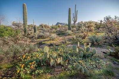 PR RV -  Buffalo Gourd, Prickly Pear, Saguaros, Panther Peak