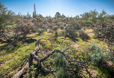 PR RV -  Fallen Palo Verde Snag and Backlit Desert