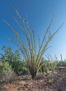 PR RV - Ocotillo With Yellow leaves