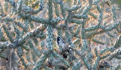 PR RV - Black-throated Sparrow in Cholla Cactus