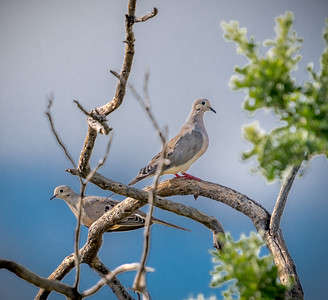 PR RV - Mourning Doves