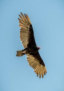 PR RV - Turkey Vulture